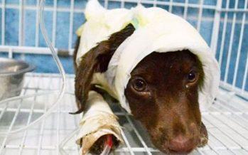 Condenaron al acusado de despellejar al perro Chocolate